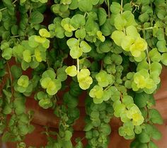 Golden Creeping Jenny from White Flower Gardens: ground cover, borders, handing baskets. Low.