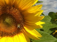 The bee and the sunflower - available on canvas - photo Photo Canvas, Bee, Plants, Photography, Etsy, Vintage, Honey Bees, Photograph, Fotografie