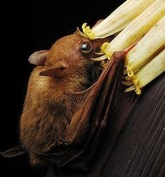 Read about Macroglossus minimus (lesser long-tongued fruit bat) on the Animal Diversity Web. Animals And Pets, Funny Animals, Cute Animals, All About Bats, All Bat, Bat Species, Bat Flying, Baby Bats, Fruit Bat
