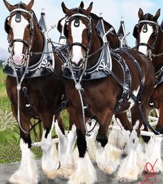 Budweisers Clydesdales!