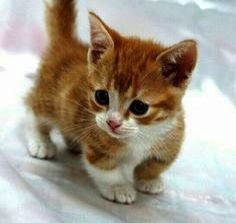 Cats And Kittens For Sale Essex Cats Kittens Older Cute Cats And Dogs Kitten Pictures Kittens Cutest