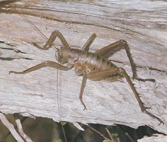 The Weta were proverbially ugly, above all the giant Weta  which was known for this reason as 'Punga's Weta'