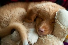 Denver, A Novia Scotia Duck Toller, Might Be The World's Cutest Puppy (PHOTOS)