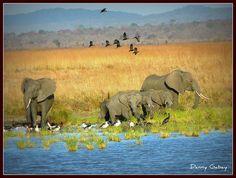 Elephants Water Hole Mikumi Tanzania by DannyGabay, via Flickr