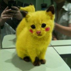Pikachu pokemon cat #Pikachu #pokemon #cat #cats #catsofinstagram #dog #dogs #dogsofinstagram #rabbit #rabbits #bunny #bunnies #bunnystagram #animal #animals #love #sweet #cute #bestfriends #friend #friends #nice #lovely by skycat2oo