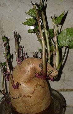 Hazánkban egyre elterjedtebb az édesburgonya – batáta – fogyasztása. Nem kíván nagy szakértelmet termesztése, könnyedén próbálkozhatsz vele kertedben....