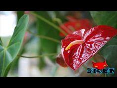 Una Sola Flor De Esta Planta Podria Salvar Tu Vida, Pero La Gente La Usa Para Decorar Su Casa - YouTube