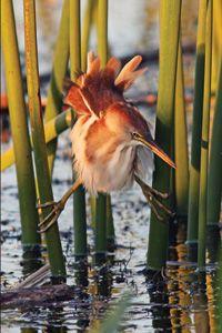 Sarasota's Celery Fields has over 200 species of birds including Marsh and Sedge Wrens