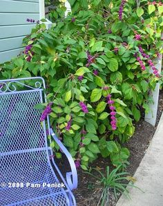 American beautyberry a large native deciduous shrub that prefers afternoon shade and occasional extra water.
