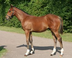 'Frankel' by Galileo from 'Kind' (by 'Danehill' as a foal) Frankel (foaled 11 February 2008 in Great Britain) is a thoroughbred colt racehorse bred by Juddmonte Farms, trained by Sir Henry Cecil (1943-2013). Named after the renowned late American trainer Bobby Frankel, Frankel retired unbeaten.