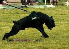 Cane Corso Italian Mastiff, Cane Corso Mastiff, Cane Corso Dog, Big Dogs, Dogs And Puppies, Scary Dogs, Pitbulls, Rottweilers, Colorful Fish