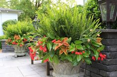 Kimberly Queen fern and unbeatable 'dragon wing' begonia and coleus. This is a winning combination for our long, hot summers. Full Sun Planters, Full Sun Container Plants, Fern Planters, Sun Plants, Outdoor Planters, Container Flowers, Flower Planters, Container Gardening, Outdoor Gardens