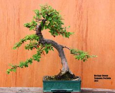 Bonsai trees are often used in balcony gardens - the fascination of having a 20 or 30 year old tree in a pot captivates people. An introduction to bonsai. Bonsai Art, Bonsai Garden, Cotoneaster Bonsai, Balcony Garden, Gardens, Plants, Outdoor Gardens, Plant, Balcony Gardening