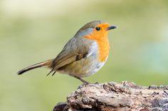 Portrait of a robin  by John Gooday