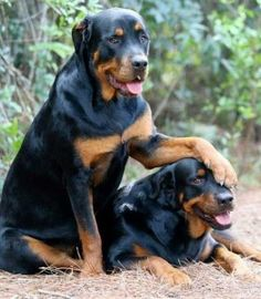 20 Seriously Adorable & Funny Rottweiler Pictures ALL Rotty Fans Will Love - Page 15 of 20 - Barmy Pets Cute Puppies, Cute Dogs, Dogs And Puppies, Doggies, Chihuahua Dogs, Pomeranian Dogs, Big Dogs, I Love Dogs, Beautiful Dogs