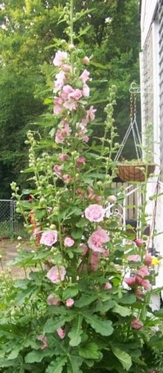I personally love hollyhock and these are great tips on growing them.