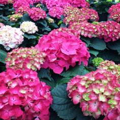 Need some spring color in your life? Our Ft Wayne garden center is blooming with color. Stop by for a spring preview! #FortWayne #VisitFtWayne #Hydrangea #Greenhouse #Garden #Plant #Plants #Flowers #Bloom #Blooms #Spring #Springtime #InstaSpring #InstaBloom #Floweroftheday
