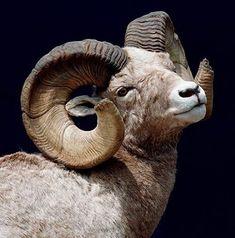 american bighorn sheep tattoo at DuckDuckGo Nature Animals, Farm Animals, Animals And Pets, Cute Animals, Majestic Animals, Animals Beautiful, Cabras Animal, Animals With Horns, Big Horn Sheep