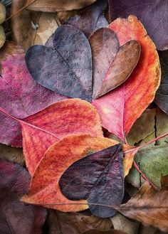 leaf hearts... #feuilles #coeur #multicolores: