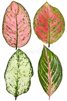 Indoor Shade Plants, Indoor Plants Names, Mini Plants, White And Gold Wallpaper, Leaf Identification, Plant Art, Painted Leaves, Watercolor Leaves, Foliage Plants
