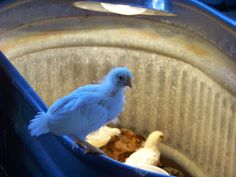For future reference...5 Tips for Introducing Teenage Chicks -- Community Chickens#.U1rAMvldUXw