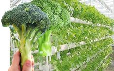 Hydroponic Gardening Ideas Brocolli hydroponic grow room - Broccoli can be a tad tricky to grow hydroponically, like its cousins kale, spinach, peas and Brussels sprouts it is a cold weather crop that does not fare well in higher temperatures. Hydroponic Farming, Hydroponic Growing, Aquaponics Diy, Hydroponics System, Hydroponic Gardening, Organic Gardening, Indoor Gardening, Hydroponic Lettuce, Hydroponic Vegetables