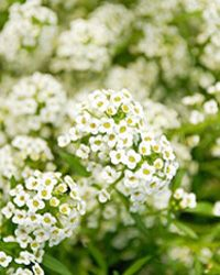 """TLC """"10 Best Smelling Flowers"""" Alyssum is a mat-forming plant with dense clusters of tiny, sweet-smelling flowers."""