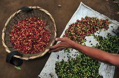 afp. 13.01.17. - Egy munkás a kávébabokat válogatja egy kávéültetvényen, San Ramonban. Közép - Amerika az egyik legfontosabb az  Arabica kávéttermesztő vidékek közül.