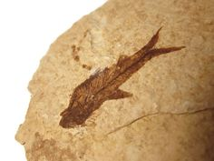 Prehistoric Fossilized Fish, 50 million years old- by SplendidStones on Etsy, $18.00
