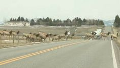 Montana elk herd video, with 1 straggler, goes viral