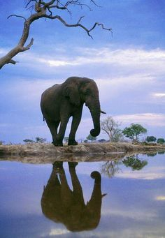 African elephant at waterhole, Loxodonta africana, Chobe National Park, Botswana (Frans Lanting) Photo Elephant, Elephant Love, African Elephant, African Animals, Zebras, Beautiful Creatures, Animals Beautiful, Animals And Pets, Cute Animals