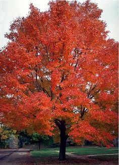 """""""Autumn Flame"""" maple tree I want one of these in my garden."""
