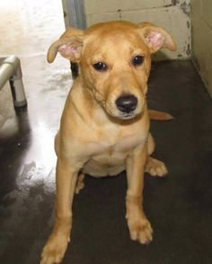 Female, 0Yrs 4 Months   brown/white Lab-X Dog 12547