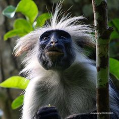 Did you know: Unlike other monkeys, colobus monkeys do not have thumbs! Primates, Mammals, Animals Beautiful, Cute Animals, Wild Animals, Types Of Monkeys, African Animals, Weird And Wonderful, Earth