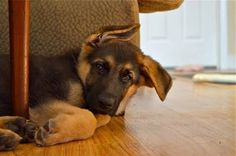 Sleepy puppy german shepherd