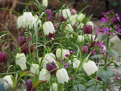 Frø av Rutelilje eller Fritillaria kan såes nå Planters, Compost, Plants, Pot Holders, Pots, Container Plants