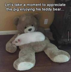 Miniature pig, Vietnamese Pot-bellied, Guinea pig, Dog, Animal, Pet, Humour Meme: Let's take a moment to appreciate this pig enjoying his teddy bear..