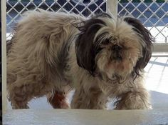 3/18/16 RESCUED LUCILLE #A4928287 Oh so happy she is Safe thanks to Teresa Molinara​​ & the wonderful Dexter Foundation.  What a lucky Baby Girl she is 3/16 LUCILLE  Oreo female Lhasa Apso this beauty is apox 3-6YO & not spayed. Sweet as she can be, has a lifetime of love to give to the Angel that will save her it spite of the new shavecut. Sharing for Foster for Rescue, Adopter & Pledges.  Will you be her Angel? At Carson ACC since 3/14 avail on 3/18 visit her at temp home at C347.