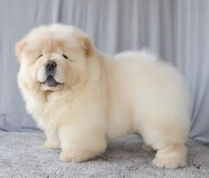 OMG I can't take the cuteness. Cream Chows are perfection!