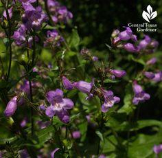 Bee on spring-blooming native perennial Gulf penstemon on Central Texas Gardener