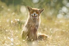 "Happy Fox is Happy - Summertime - <em>Happy Animals are the Best Animals</em> <strong><a href=""http://www.roeselienraimond.com"">Roeselienraimond.com</a></strong> 