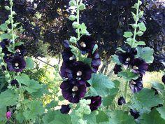 Black Hollyhock Seeds Alcea rosea nigra Heirloom Hollyhocks Cottage Garden Flower Seeds