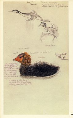 Charles Tunnicliffe - A Sketchbook of Birds Weird Birds, Funny Birds, Nature Artists, Bird Artists, Ingo, Bird People, Sketching Tips, In Natura, Nature Journal