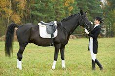 Der Nonius kann ein elegantes Sportpferd für das Dressurreiten abgeben
