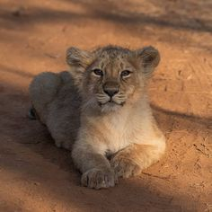 """""""Roadblock by this young fellow on one of the morning drives while doing a private guiding at Gir, says Harsha Narasimhamurthy.""""  Photo by   Wildlife Photography, Animal Photography, Lion Cub, Pet Puppy, Animals Beautiful, Cubs, Lions, Animals And Pets, Cute Pictures"""