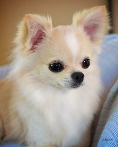 Effective Potty Training Chihuahua Consistency Is Key Ideas. Brilliant Potty Training Chihuahua Consistency Is Key Ideas. Cute Chihuahua, Cute Puppies, Dogs And Puppies, Long Haired Chihuahua Puppies, Chihuahua Terrier, Baby Animals, Funny Animals, Cute Animals, Dog Paws