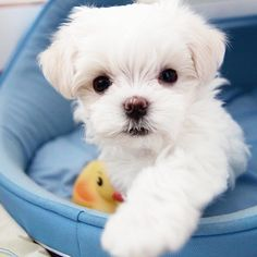 Maltese puppy liking what your eating Teacup Puppies, Cute Puppies, Cute Dogs, Dogs And Puppies, Teacup Maltese, Doggies, Animals And Pets, Baby Animals, Cute Animals