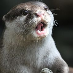 Oh no...........otters are probably some of the cutest animals ever!!!