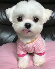 Cute Baby Puppies, Super Cute Puppies, Baby Animals Super Cute, Cute Little Animals, Cute Funny Animals, Cute Animal Videos, Cute Animal Pictures, Fluffy Animals, Teacup Maltese