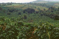 Coffee plantation in Rungwe, Mbeya, Tanzania